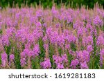 Willowherbs Bloom. Rose And...