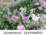 Beautiful Pink Hebe Flowers In...