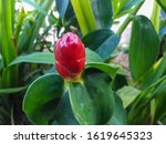 indian head ginger. nature ... | Shutterstock . vector #1619645323