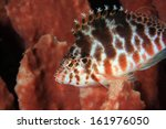 Spotted hawkfish (Cirrhitichthys aprinus) on sponge - stock photo