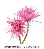 Pink Disbud Spider Mum  Aster ...