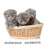 Stock photo group british shorthair kittens in basket isolated on white background 161984570