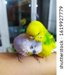 A Pair Of Budgies Is Sitting O...