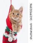 Red Tabby Domestic Cat  Kitten...