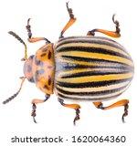 The Colorado Potato Beetle...