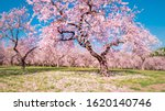 A Big Almond Tree With Flowers...