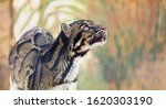 A Clouded Leopard Rendered With ...