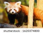 The Red Panda  Ailurus Fulgens  ...