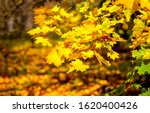 Small photo of Autumn maple leaves scene. Autumn maple leafs. Golden autumn maple leaves. Autumn maple leafs view
