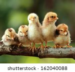 group of new born chicks on a... | Shutterstock . vector #162040088