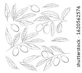 olive sketch element collection.... | Shutterstock .eps vector #1620562576