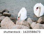 Swans At A Riverbank Looking...