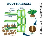 root hair cell collecting... | Shutterstock .eps vector #1620625306