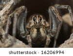 Wolf Spider Sits At The Top Of...