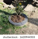 Reuse Of Old Tiers As Planter...