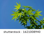 Green Leaves On Branch Of...