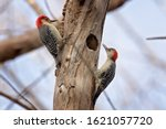 Pair Of Red Bellied Woodpecker...