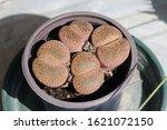 Lithops Plant  Living Stone ...