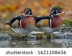 The Wood Duck Or Carolina Duck...
