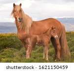 Icelandic Mare With Her Foal.