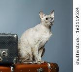shorthair oriental cat ... | Shutterstock . vector #162119534
