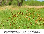 Mexican Hat  Upright Prairie...