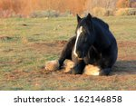 Large Draft Horse Laying In A...