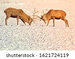 Two Whitetail Deer Bucks Lock...