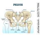 Pelvis Anatomical Skeleton...