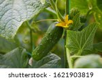 Young Plant Cucumber With ...