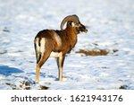 Attentive Mouflon  Ovis...