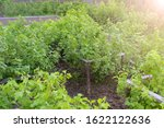 Berry Bushes Of Currant And...