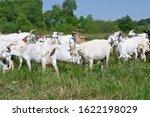 Goats In The Pasture Of Organi...