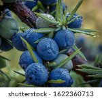 Juniper Or Juniper Is A Genus...