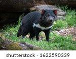 Tasmanian Devil In Open...