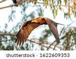 Black Kite Flying Against A...
