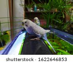 Two Budgies Are Sitting On The...