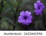 Purple Morning Glory Blossom A...
