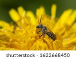 A small solitary bee (family Apidae, genus Lasioglossum) in a dandelion flower