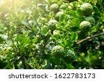 Fresh Organic Bergamot Fruits...