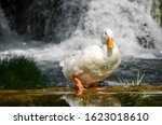 White Duck Portrait. Duck With...