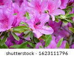 Beautiful Rhododendron Flowers...