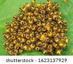 Spiderlings Of An Orb Weaving...