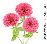 Pink Zinnia Flower Isolated On...