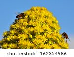 Small photo of Splendid cluster of little yellow flowers of aeonium undulatum with two bees on the top and collecting the exquisite nectar of pollen, natural wildflowers of Canary islands