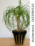 A Ponytail Palm Plant Inside Of ...