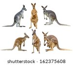 Kangaroo Isolated On White...