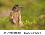 Marmot Female Sitting In The...