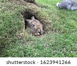 A Brown Rabbit Is In A Hole.