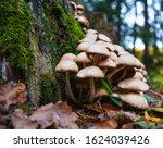 Magic Mushrooms Close Up. A...